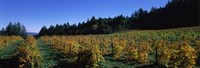 Vineyard in Fall, Sonoma County, California Fine-Art Print