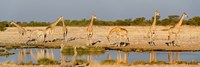Giraffes, Etosha National Park, Namibia Fine-Art Print