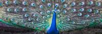 Dancing Peacock, India Fine-Art Print