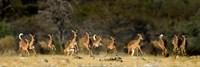 Black-Faced Impala, Etosha National Park, Namibia Fine-Art Print