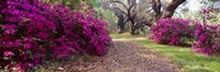 Magnolia Plantation and Gardens, Charleston, South Carolina Fine-Art Print