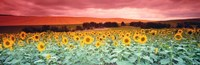 Sunflowers, Corbada, Spain Fine-Art Print