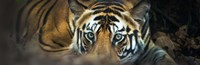 Bengal Tiger, India Fine-Art Print