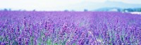 Lavender Field in Japan Fine-Art Print