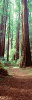 Redwood Trees, St Park Humbolt, CO Fine-Art Print