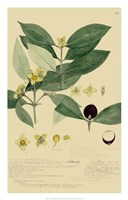 Descubes Foliage & Fruit II Fine-Art Print