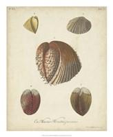 Antique Knorr Shells II Fine-Art Print