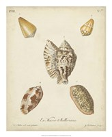 Antique Knorr Shells III Fine-Art Print