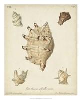 Antique Knorr Shells IV Fine-Art Print