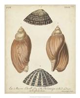 Antique Knorr Shells V Fine-Art Print