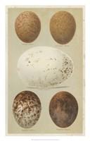 Antique Bird Egg Study III Fine-Art Print