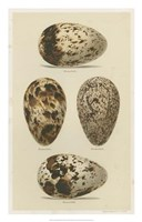 Antique Bird Egg Study VI Fine-Art Print