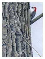Red Bellied Woodpecker II Fine-Art Print
