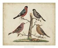 Bull Finches Fine-Art Print