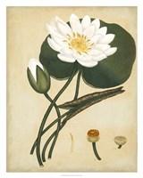 White Water Lily Fine-Art Print