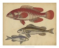 Species of Fish II Fine-Art Print