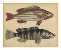 Species of Fish III Fine-Art Print
