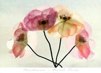 Translucence Fine-Art Print