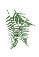 Green Ferns Mate Fine-Art Print