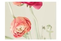 Ranunculus 1 Fine-Art Print