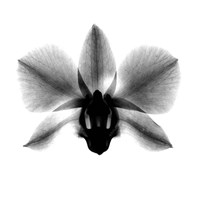 Orchid, Phalenop. X-Ray Fine-Art Print