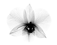 Dendrobium 2  X-Ray Orchid Fine-Art Print