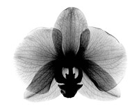 Orchid, Small  X-Ray Fine-Art Print