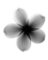 Plumeria X-Ray Fine-Art Print