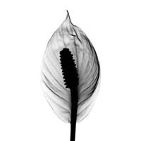 Spathyphyllum X-Ray Fine-Art Print