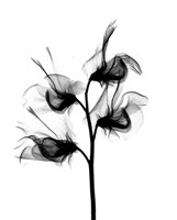 Sweet Pea X-Ray Fine-Art Print