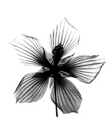 Hibiscus, Texas Star X-Ray Fine-Art Print