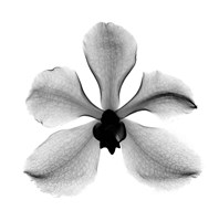 Orchid #3 X-Ray Fine-Art Print