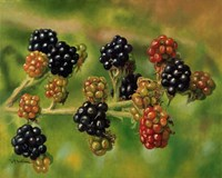 Blackberries Fine-Art Print
