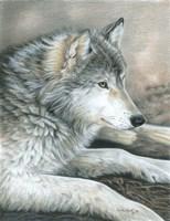 Calm Wolf Fine-Art Print