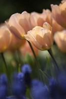 Tulip No 1 Fine-Art Print