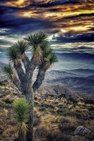Joshua Tree Sunset Fine-Art Print