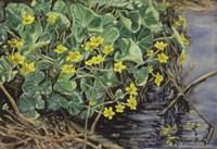 Marsh Marigolds Fine-Art Print
