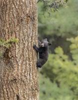 Black Bear Cub Climbing Fine-Art Print
