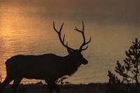 Bull Elk at Sunrise Fine-Art Print