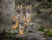 Malayan Tiger Cubs Oil Paint Fine-Art Print