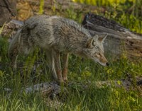Stalking Coyote Fine-Art Print