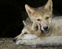 Wolf Pup Brothers Fine-Art Print