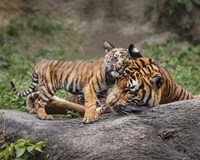 Malayan Tiger Cub: Priceless Fine-Art Print