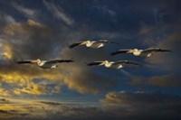 Pelican Foursome Fine-Art Print