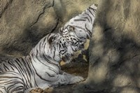 White Tiger Headbutt Fine-Art Print