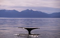 Humpback Whale in Alaska, USA Fine-Art Print