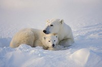 Polar Bears Huddled Together Fine-Art Print