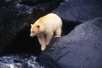 Brown Bear Preparing to Jump into River Fine-Art Print