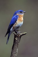 Beautiful Bluebird Fine-Art Print