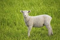 Baby Lamb in Grassfield Fine-Art Print